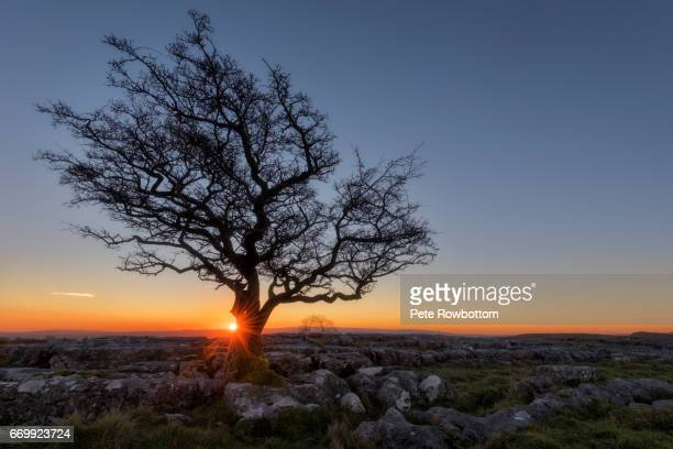 sunburst and lone tree - limestone pavement stock pictures, royalty-free photos & images
