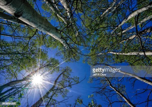 Sunburst in the Aspen Trees