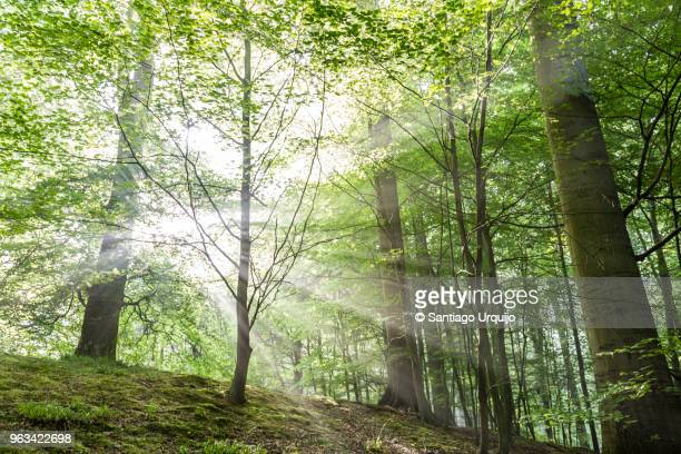 sunburst piercing a beech forest - beech tree stock pictures, royalty-free photos & images