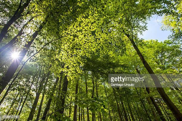 Sunburst through a beech forest