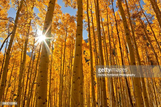 Sunburst through a grove of Fall Aspen Trees