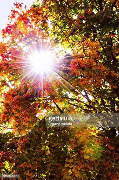Sunburst through Autumn leaves