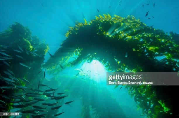 Sunburst through giant kelp (Macrocystis pyrifera) on the California coast.