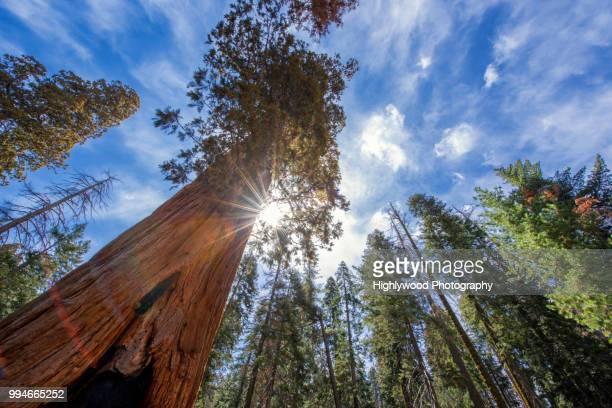 sunburst through giant sequoia tree - highlywood stock photos and pictures