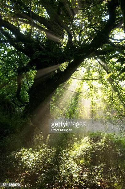 Sunburst tree in the glade