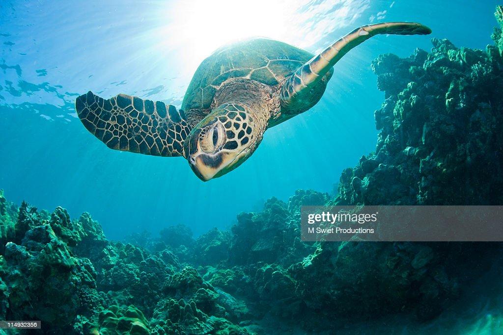 Sunburst-sea-turtle : Stock Photo