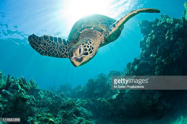 sunburst-sea-turtle - green turtle stock photos and pictures