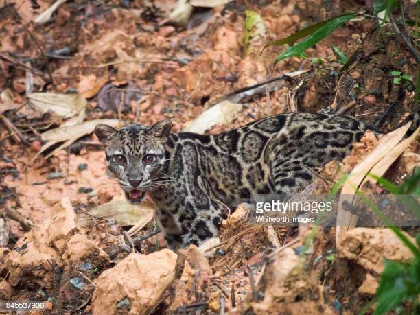 sunda clouded leopard (neofelis diardi) - very rare daylight sighting in sabah, borneo - clouded leopard stock photos and pictures