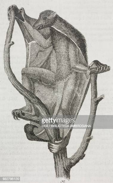 Sunda flying lemur native of Southeast Asia engraving from L'album giornale letterario e di belle arti December 19 Year 7