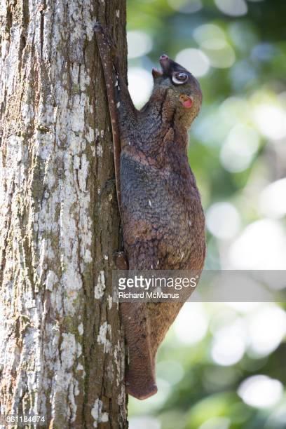 sunda flying lemur - flying lemur stock pictures, royalty-free photos & images