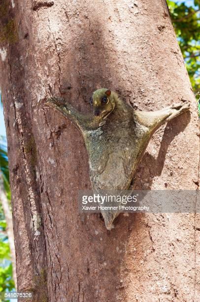sunda flying lemur | pulau perhentian - flying lemur stock pictures, royalty-free photos & images