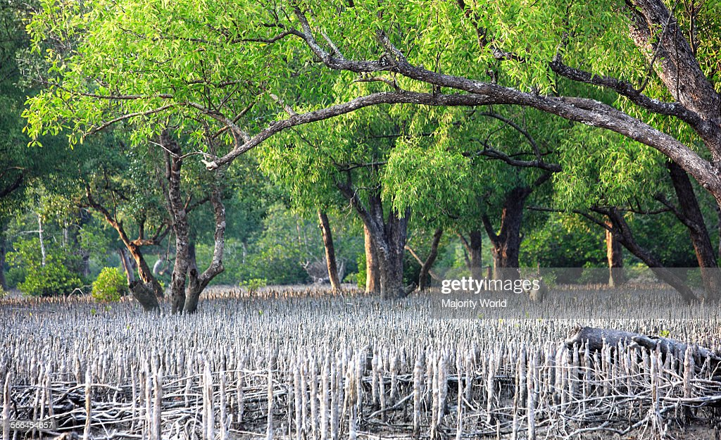 the sundarban forest What the sundarbans delta is the largest mangrove forest in the world and is intersected by a complex network of tidal waterways, mudflats and small islands of salt-tolerant mangrove forests.