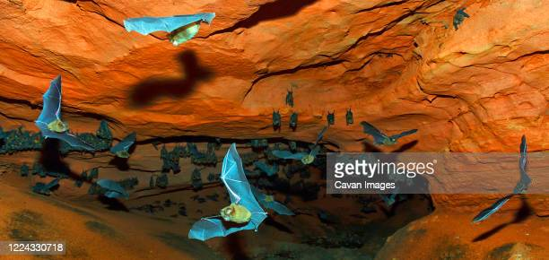 sundevall bats (hipposideros caffer) in flight in forest perched cave. hokou bai, dzanga-ndoki national park, central african republic - fire ape stock-fotos und bilder