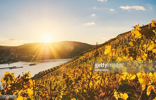 日没で、秋のブドウ園のすぐ横にライン - ラインラント=プファルツ州 ストックフォトと画像