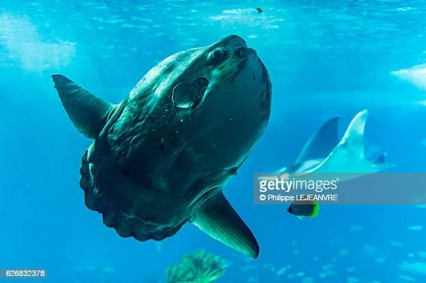 Sunfish and Manta Ray