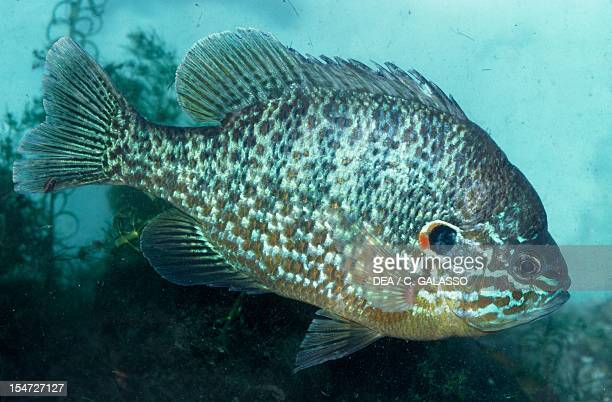 Sunfish Centrarchidae