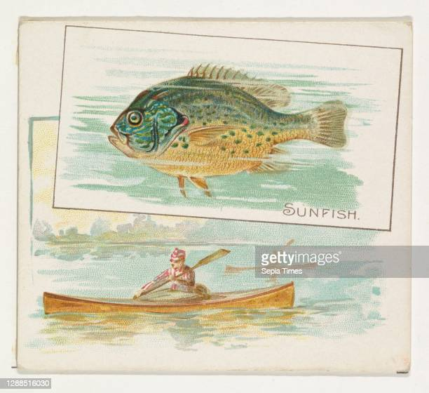 Sunfish, from Fish from American Waters series for Allen & Ginter Cigarettes Commercial color lithograph, Sheet: 2 7/8 x 3 1/4 in. , Trade cards from...