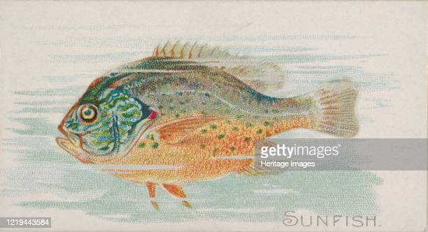 Sunfish, from the Fish from American Waters series for Allen & Ginter Cigarettes Brands, 1889. Artist Allen & Ginter.