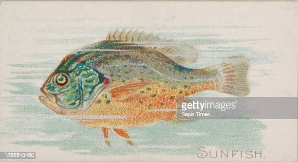 Sunfish, from the Fish from American Waters series for Allen & Ginter Cigarettes Brands Commercial color lithograph, Sheet: 1 1/2 x 2 3/4 in. , Trade...