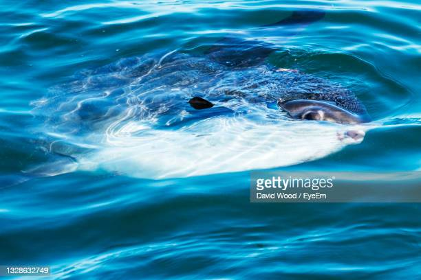 a sunfish is swimming in the atlantic ocean off of the coast of maine on summer afternoon. - mola stock pictures, royalty-free photos & images