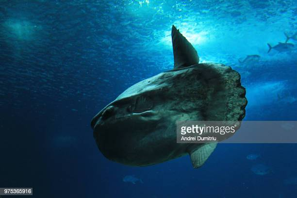 sunfish - pez luna pez fotografías e imágenes de stock
