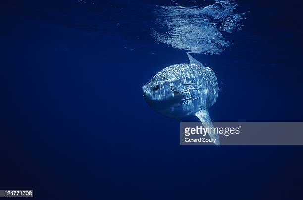 sunfish (mola mola) swimming just below the surface, mediterranean, france - sunfish stock pictures, royalty-free photos & images