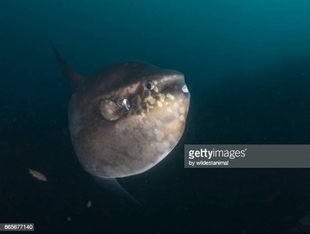 """Sunfish swimming over the coral reef at the dive site called """"Punta Vicente Roca"""", Isabela Island, Galapagos Islands."""