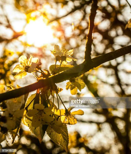 sunflare flowers - oskar stock pictures, royalty-free photos & images