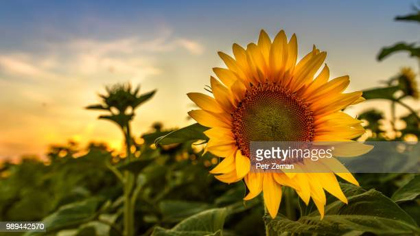 Sunflower.... after sunset