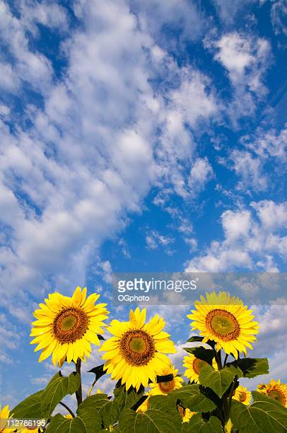 sunflower against clouds and sky - ogphoto stock pictures, royalty-free photos & images