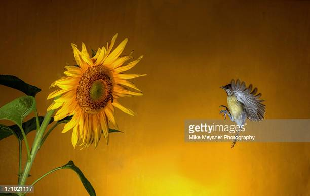Sunflower and a young Great Tit