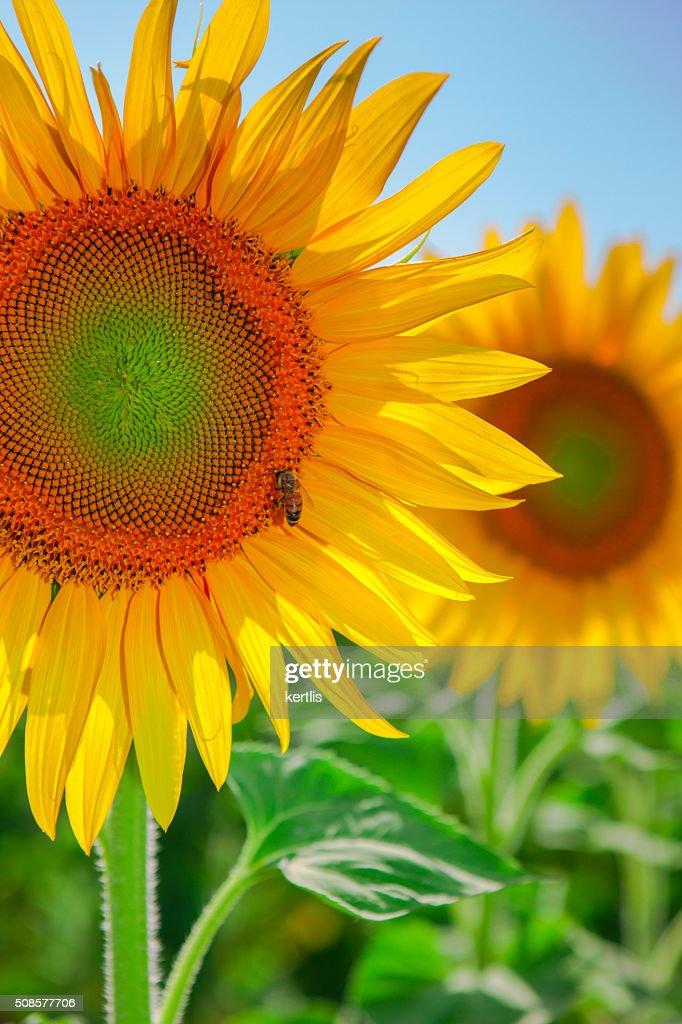 Sunflower and bee on green field (landscape) : Bildbanksbilder