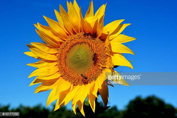 sunflower and bees france - alpes de haute provence stock photos and pictures