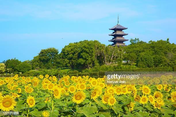 sunflower and bicchukokubunji, okayama prefecture, - präfektur okayama stock-fotos und bilder