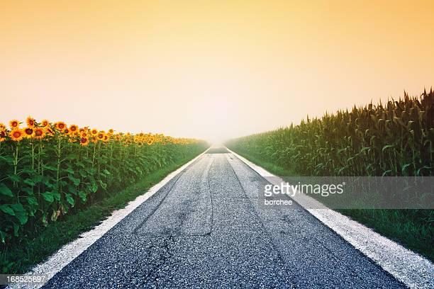 Girasol y los cereales campo al amanecer