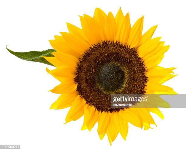 Sonnenblume und Blätter, isoliert auf weiss, Mit clipping-Pfad enthalten.