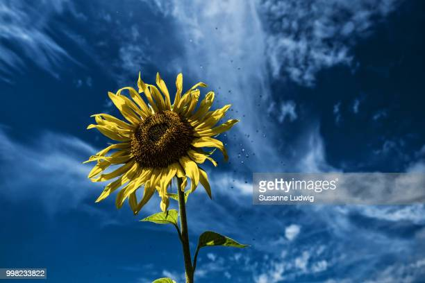 sunflower and midge swarm - susanne ludwig stock pictures, royalty-free photos & images