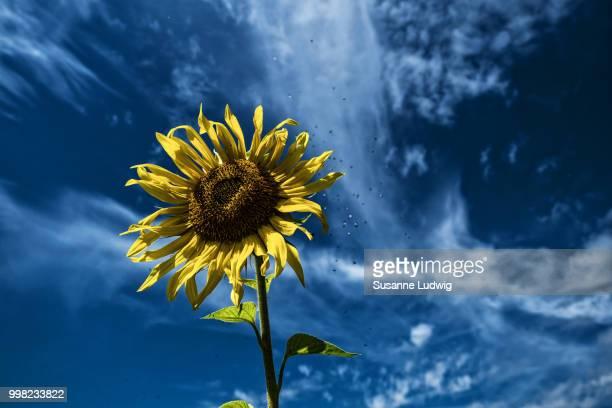 sunflower and midge swarm