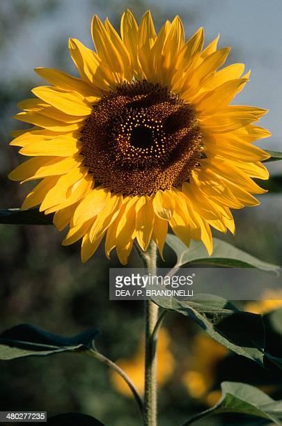 Sunflower Asteraceae