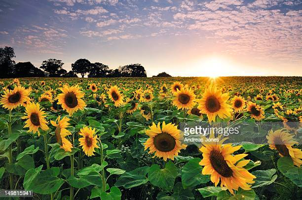 sunflower at sunset - girasoli foto e immagini stock