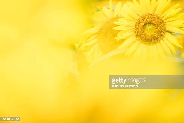 Sunflower background material