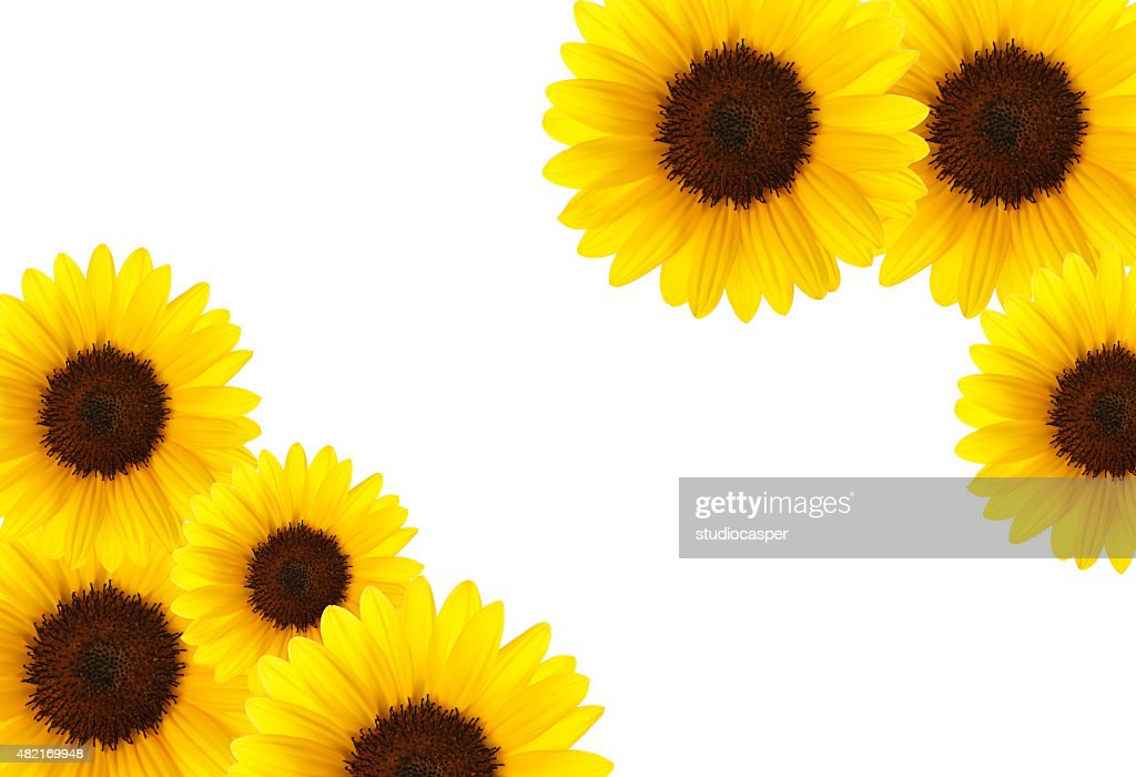 free sunflower on white background images pictures and