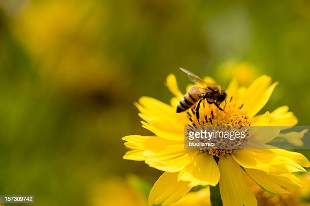 sunflower bee xxl - bees on flowers stock pictures, royalty-free photos & images