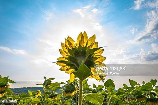 sunflower blooming on field against cloudy sky - girasoli foto e immagini stock