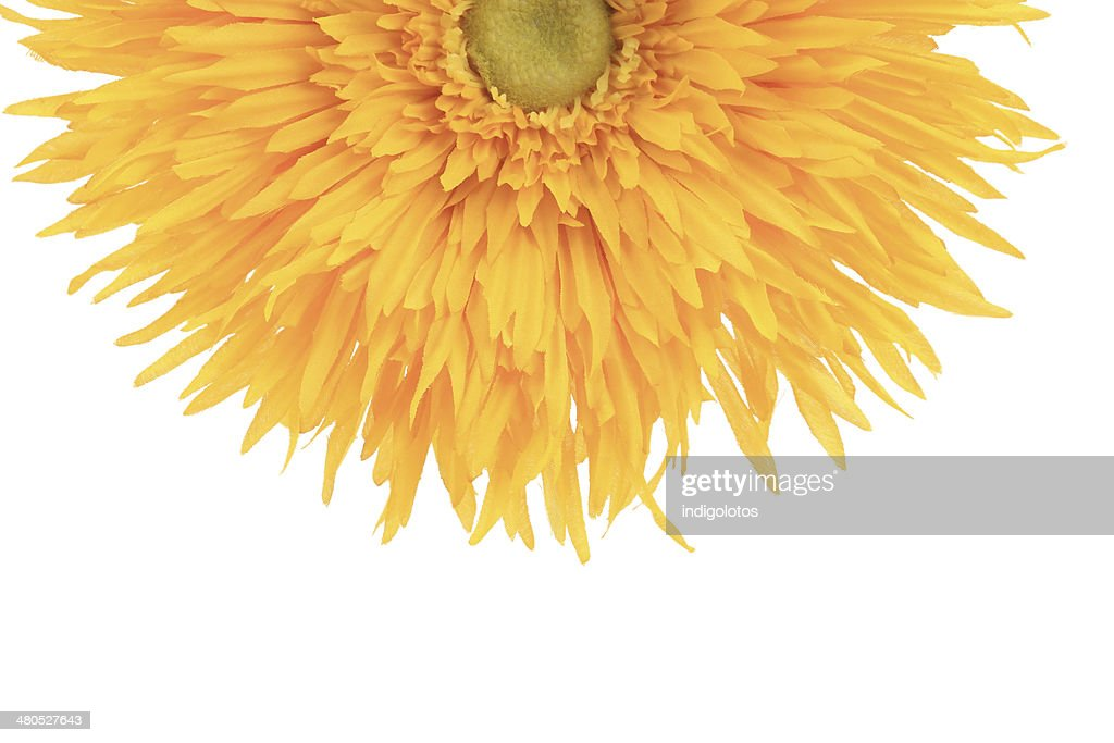 Sunflower close up. : Stock Photo