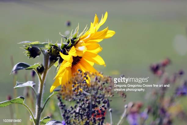 sunflower close-up - gregoria gregoriou crowe fine art and creative photography stockfoto's en -beelden
