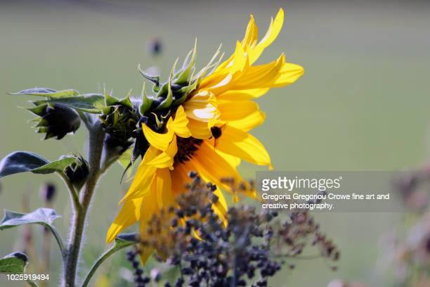sunflower close-up - gregoria gregoriou crowe fine art and creative photography. stock pictures, royalty-free photos & images