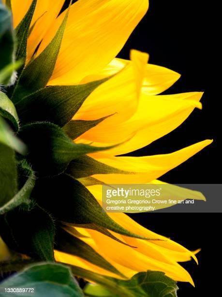sunflower close-up - gregoria gregoriou crowe fine art and creative photography. - fotografias e filmes do acervo