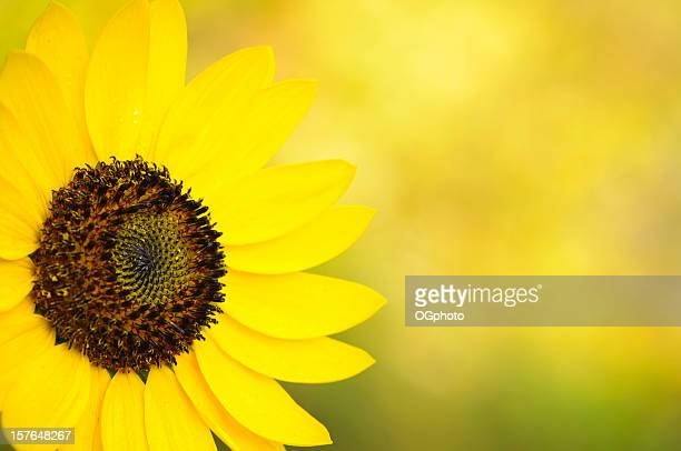 sunflower close-up - ogphoto stock pictures, royalty-free photos & images