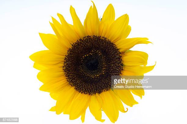 sunflower, close-up - girasoli foto e immagini stock